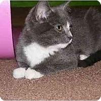 Adopt A Pet :: Sherrys  DSH Female - Cincinnati, OH