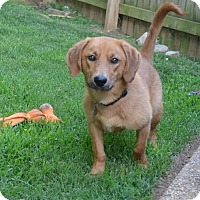 Adopt A Pet :: Sully - Knoxville, TN
