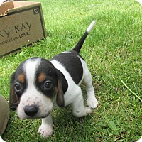 Adopt A Pet :: Zazu - Lake Odessa, MI