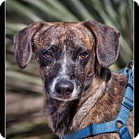 Adopt A Pet :: Brandow - Wickenburg, AZ