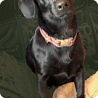 Adopt A Pet :: Abby - Adoption Pending - Gig Harbor, WA