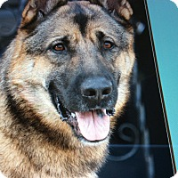 German Shepherd Dog Dog for adoption in Los Angeles, California - CESAR VON BERKUN