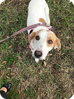 Foxhound Dog for adoption in Sanford, Florida - Molly