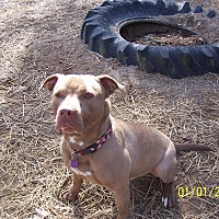 Staffordshire Bull Terrier Mix Puppy for adoption in Perryville, Missouri - Grunt