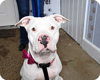 Pit Bull Terrier Mix Dog for adoption in Glastonbury, Connecticut - CeCe ~ meet me!