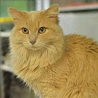 Domestic Mediumhair Cat for adoption in Atlanta, Georgia - Macadamia151741