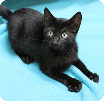 Domestic Shorthair Kitten for adoption in Chicago, Illinois - Blackberry