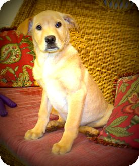 Labrador Retriever Puppy for adoption in Gadsden, Alabama - bishop