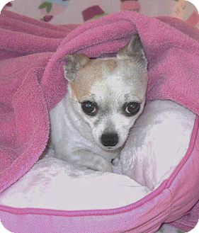 Chihuahua Dog for adoption in Palm Coast, Florida - BREEZY: In Loving Home