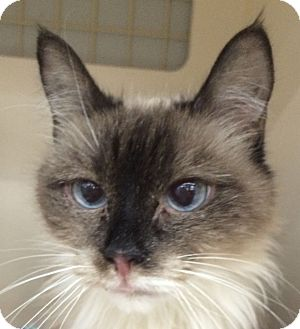 Ragdoll Cat for adoption in Winchester, California - Valentine