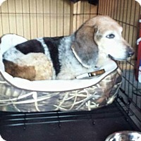 Beagle Dog for adoption in Glen St Mary, Florida - Lavender