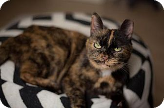 American Shorthair Cat for adoption in Indianapolis, Indiana - Tory