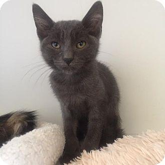 Domestic Shorthair Cat for adoption in Westminster, California - Riggatoni