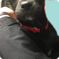 Adopt A Pet :: Lab boy pup - Pompton Lakes, NJ