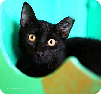 Domestic Shorthair Cat for adoption in Tucson, Arizona - Archimedes