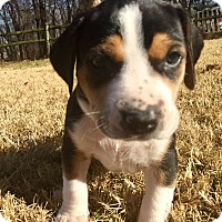 Adopt A Pet :: Dora - Norman, OK