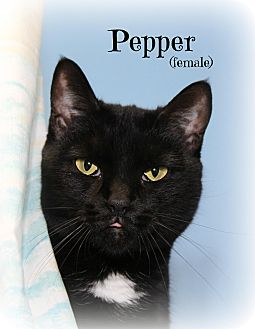 Domestic Shorthair Cat for adoption in Glen Mills, Pennsylvania - Pepper