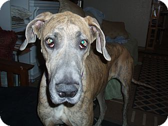 Great Dane Dog for adoption in Phoenix, Arizona - Baby
