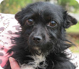 Schnauzer (Miniature)/Yorkie, Yorkshire Terrier Mix Dog for adoption in Harrisonburg, Virginia - Pippen