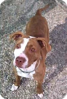 American Staffordshire Terrier Mix Puppy for adoption in Bellflower, California - Coco Pebbles