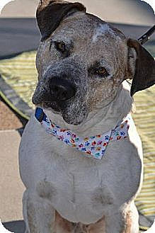 American Staffordshire Terrier/Collie Mix Dog for adoption in San Diego, California - Tagg
