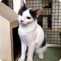 Domestic Shorthair Cat for adoption in Chicago, Illinois - Charlie Brown, the Soft-Spoken Charmer