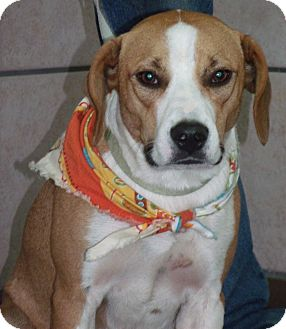 Beagle/Boxer Mix Dog for adoption in Somerset, Kentucky - Comanche- MISSING