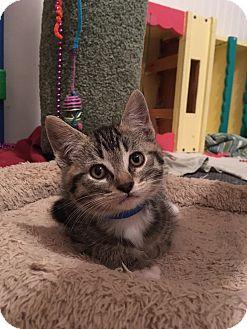 American Shorthair Kitten for adoption in San Jose, California - Mindo