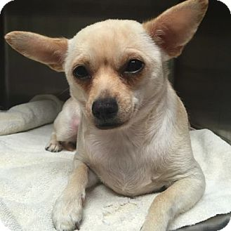 Chihuahua Mix Dog for adoption in Spring Valley, New York - Patches