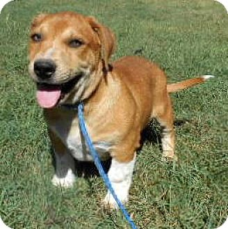 Basset Hound/Labrador Retriever Mix Puppy for adoption in Allentown, New Jersey - Mickey