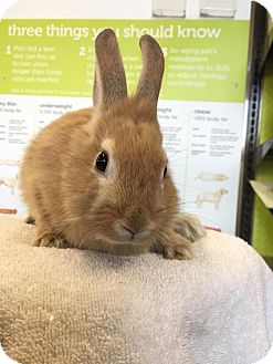 Lionhead Mix for adoption in Los Angeles, California - Chubbs