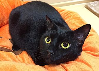 Domestic Shorthair Cat for adoption in Fairfax Station, Virginia - Carly
