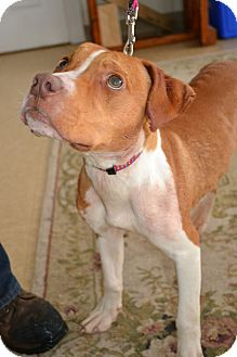 Staffordshire Bull Terrier Mix Dog for adoption in East Smithfield, Pennsylvania - Kronos