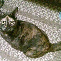 Domestic Shorthair Cat for adoption in Fullerton, California - Triscuit