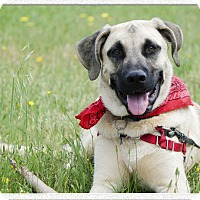Anatolian Shepherd Mix Puppy for adoption in Sacramento, California - Scooby loves people