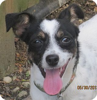 Rat Terrier/Fox Terrier (Toy) Mix Dog for adoption in North Olmsted, Ohio - Chelsea