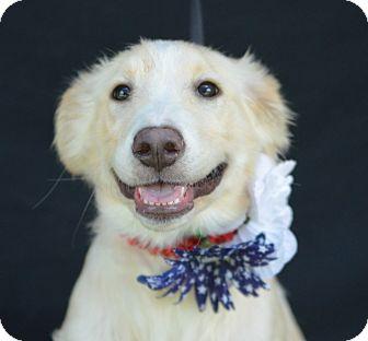 Golden Retriever Mix Puppy for adoption in Plano, Texas - Jazz