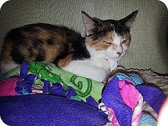 Calico Kitten for adoption in Iroquois, Illinois - Sparkle