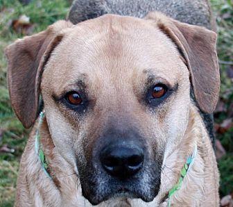 German Shepherd Dog/Labrador Retriever Mix Dog for adoption in SOUTHINGTON, Connecticut - Rocky