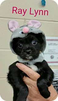 Chihuahua/Cocker Spaniel Mix Puppy for adoption in Plainfield, Illinois - RayLynn