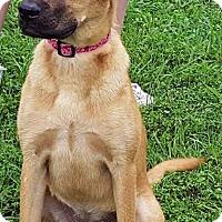 Adopt A Pet :: Ginger - Mt. Prospect, IL