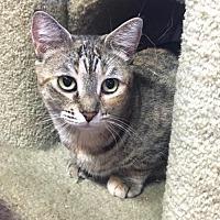 American Bobtail Cat for adoption in Hammond, Louisiana - Cecilia