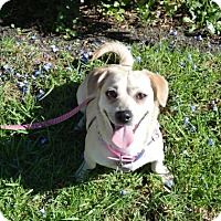 Chihuahua Mix Dog for adoption in Beverly Hills, California - Fifi