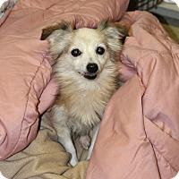 Adopt A Pet :: Beanie-Adoption Pending - Pinehurst, NC