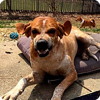 Adopt A Pet :: Hazel Grace - Washington, PA