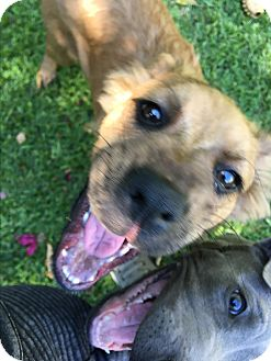 Golden Retriever/German Shepherd Dog Mix Puppy for adoption in Los Angeles, California - Lucy