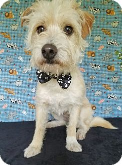 Terrier (Unknown Type, Small) Mix Dog for adoption in Vancouver, British Columbia - Hondo