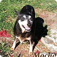 Adopt A Pet :: Mocha - El Cajon, CA
