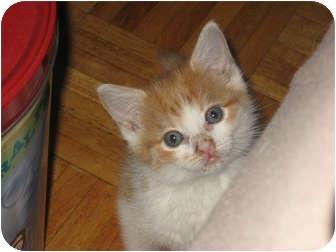 Domestic Mediumhair Kitten for adoption in bloomfield, New Jersey - Inga (AKA The Beast)