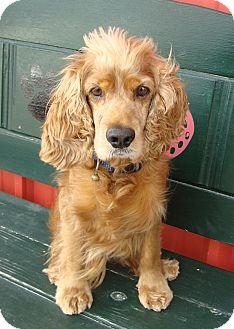 Cocker Spaniel Dog for adoption in Sugarland, Texas - Rusty